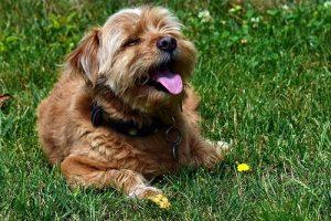 Dog panting on grass