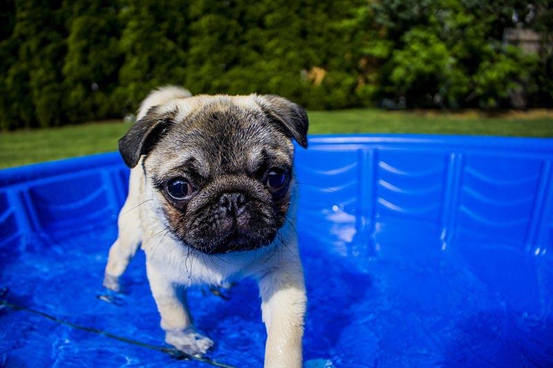 Pug puppy in mini pool